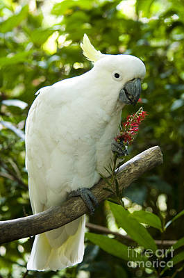 Cockatoo Photograph - Sulphur-crested Cockatoo by William H. Mullins