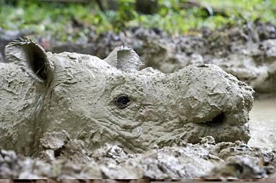 Rhinoceros Photograph - Sumatran Rhinoceros by Science Photo Library