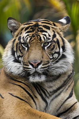Photograph - Sumatran Tiger by San Diego Zoo