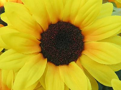 Photograph - Sunflower by Aaron Martens