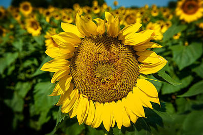 Photograph - Sunflower by Bud Simpson