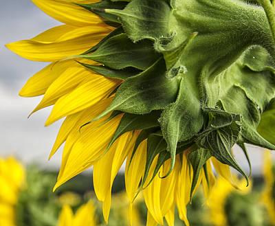 Sunflower Closeup Print by Georgia Fowler