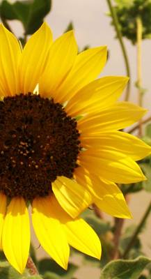 Art Print featuring the photograph Sunflower by Diane Miller
