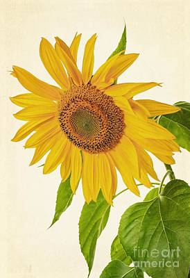Sunflowers Royalty-Free and Rights-Managed Images - Sunflower by Edward Fielding