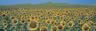 Sunflower Field Andalucia Spain Print by Panoramic Images
