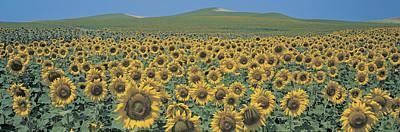 Sunflower Field Andalucia Spain Art Print