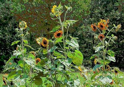 Photograph - Sunflower Garden by Annette Allman