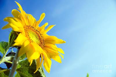 Organic Photograph - Sunflower In Flowerpot by Michal Bednarek