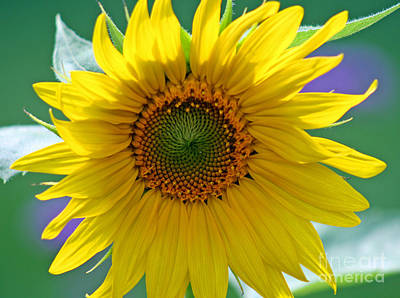 Photograph - Sunflower by Karen Adams