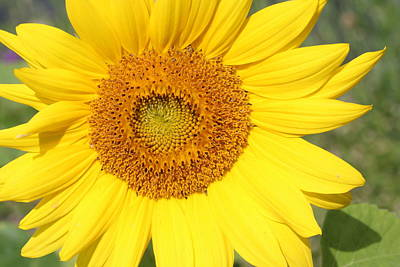 Photograph - Sunflower by Lucinda VanVleck