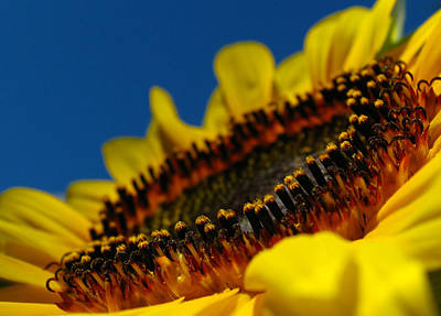 Photograph - Sunflower Macro by Juergen Roth