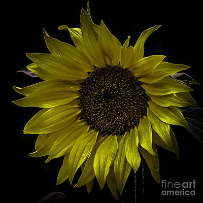 Photograph - Sunflower by Michael Canning
