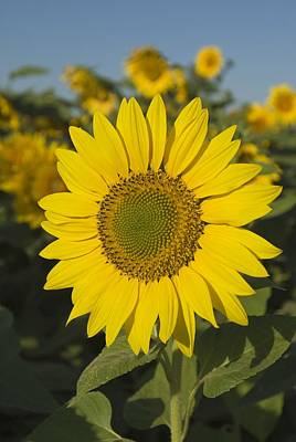 Nirvana - Sunflower by Michael Thornton