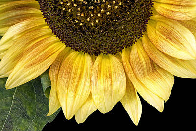 Photograph - Sunflower  by Michele Wright