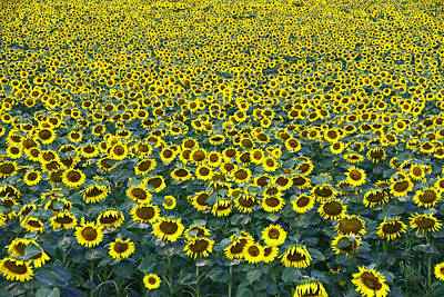 Photograph - Sunflower Nirvana 13 by Allen Beatty