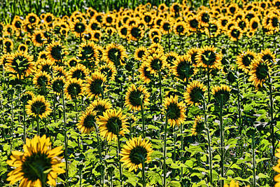 Photograph - Sunflower Nirvana 26 by Allen Beatty