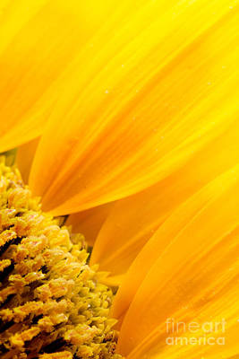 Sunflower Petals Art Print by Mythja  Photography