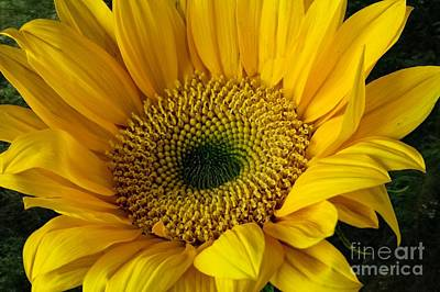 Art Print featuring the photograph Sunflower by Shirley Mangini