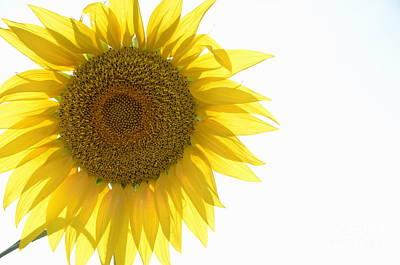 Sunflower Art Print by Sami Sarkis