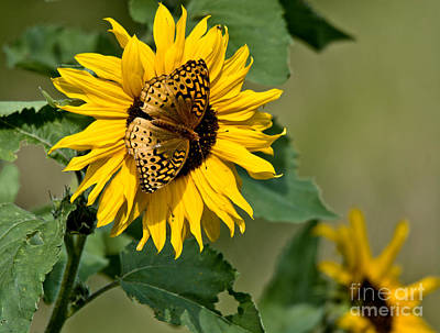 Photograph - Sunflower Visitor by Cheryl Baxter