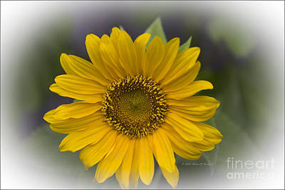 Photograph - Sunflower Vr. 'dwarf Sunspot ' by Richard J Thompson