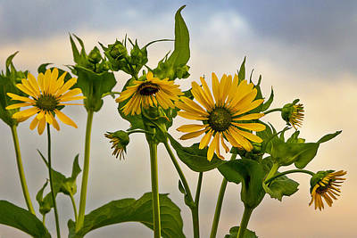 Photograph - Sunflowers by Barbara Smith