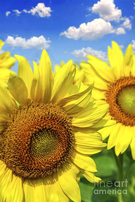 Sunflowers Royalty-Free and Rights-Managed Images - Sunflowers by Elena Elisseeva
