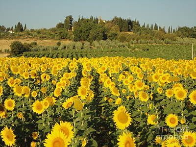 Sunflowers In Arezzo Art Print