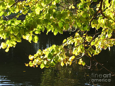 Photograph - Sunlight Through Leaves by Amber Nissen