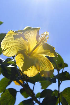 Photograph - Sunny Hibiscus by Laurie Perry