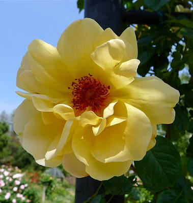 Photograph - Sunny Yellow Rose by Denise Mazzocco