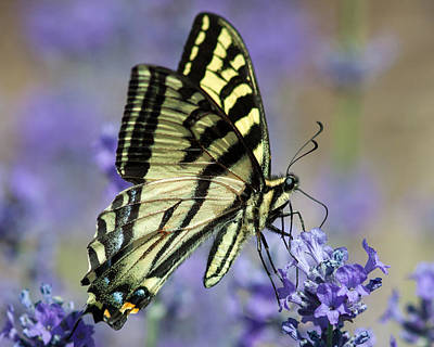 Swallowtail Butterfly Art Print by Jack Bell