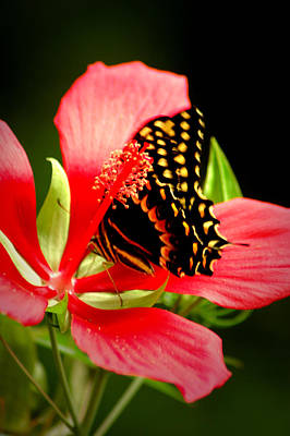 Photograph - Swallowtail by David Weeks