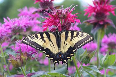 Photograph - Swallowtail On Bee Balm by Lucinda VanVleck