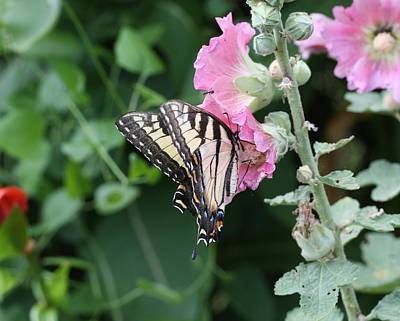 Photograph - Swallowtail On Hollyhock by Lucinda VanVleck