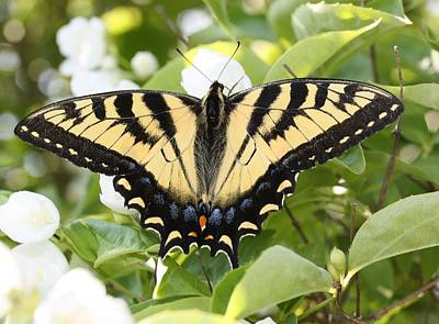 Photograph - Swallowtail On Mock Orange by Lucinda VanVleck
