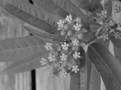 Photograph - Swamp Milkweed by Ron Davidson