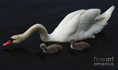 Photograph - Swan Elegance by Bob Christopher