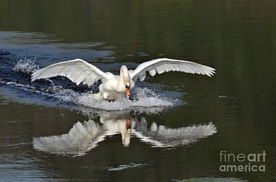 Photograph - Swan Landing by Simona Ghidini