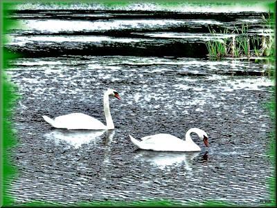 Swans Original by Daniel Janda