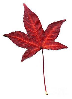 Photograph - Sweetgum Leaf by Scott Camazine