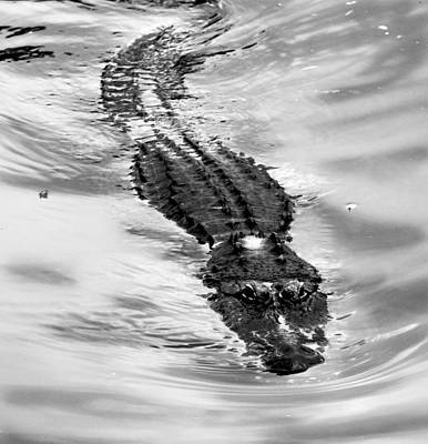 Reptiles Royalty-Free and Rights-Managed Images - Swimming Gator by Anthony Jones