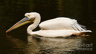 Animals Royalty-Free and Rights-Managed Images - Swimming Pink Pelican by Nick  Biemans