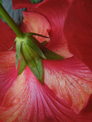 Photograph - Swirling Hibiscus Skirts by Peg Toliver