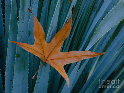 Photograph - Sycamore Leaf And Sotol Plant by John Shaw
