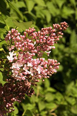 Cultivar Photograph - Syringa 'lavaliensis' Flowers by Adrian Thomas