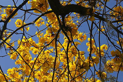 Photograph - Tabebuia Tree Blossoms by Denise Mazzocco
