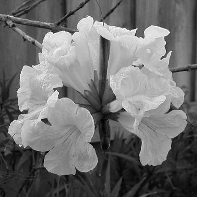 Photograph - Tabeuia Tree Flowers by Ron Davidson