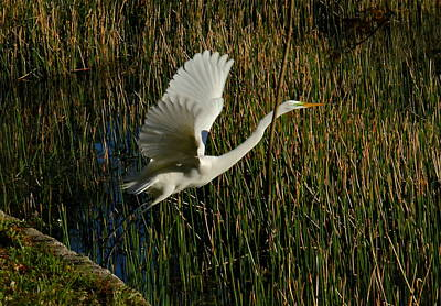 Photograph - Egret Taking Flight by Denise Mazzocco