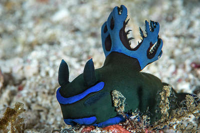 Photograph - Tambja Morosa Nudibranch In Komodo by Brandi Mueller